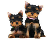 Two Yorkshire Terrier 3 month puppies dog — Stock Photo