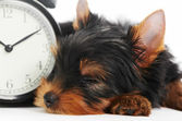 Yorkshire Terrier puppy dog with alarm clock — Stock Photo