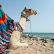 Camel Sitting at Red Sea beach — Stock Photo