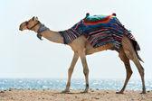 Wielbłąd na plaży nad morzem czerwonym — Zdjęcie stockowe