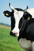 Biały czarny milch krowy na pastwisko trawa zielony — Zdjęcie stockowe