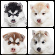 Set of Siberian husky puppy isolated - Stock Photo