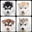 Set of Siberian husky puppy isolated — Stock Photo #6520972