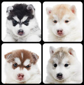 Set of Siberian husky puppy isolated — Stock Photo