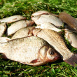 Fresh river fish on grass — Stock Photo