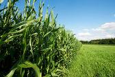 Fodder Corn — Stock Photo