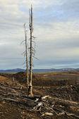 Dead trees. — Stock Photo