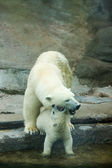 Two polar bears — Stock fotografie