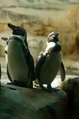 Two penguins — 图库照片