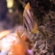 Copperband Butterflyfish — Stock Photo #5531421