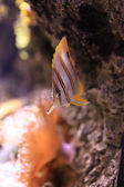 Copperband Butterflyfish — Stock Photo