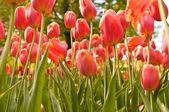 Tulips field — Stock Photo
