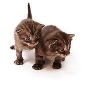 Zwillinge-kätzchen — Stockfoto