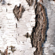 Texture of birch bark — Stock Photo