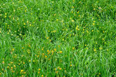 Close-up Image of Spring Meadow with Green Grass and Field Flowe — Stock Photo