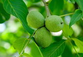 Walnuts on a tree — Stock Photo