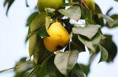 Päron på trädet — Stockfoto