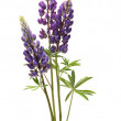 Lupin Flowers In Vase — Stock Photo