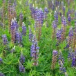 Lupine Flowers Background - Stock Photo