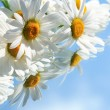 Stock Photo: Ox-Eye Daisy Flowers
