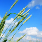Green Wheat — Stock Photo