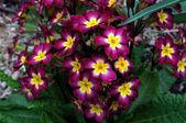 Primula — Stock Photo