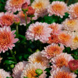 Chrysanthemum - Stock Photo