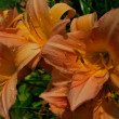 Stock Photo: Daylily