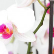 Orchid flower on white — Stock Photo