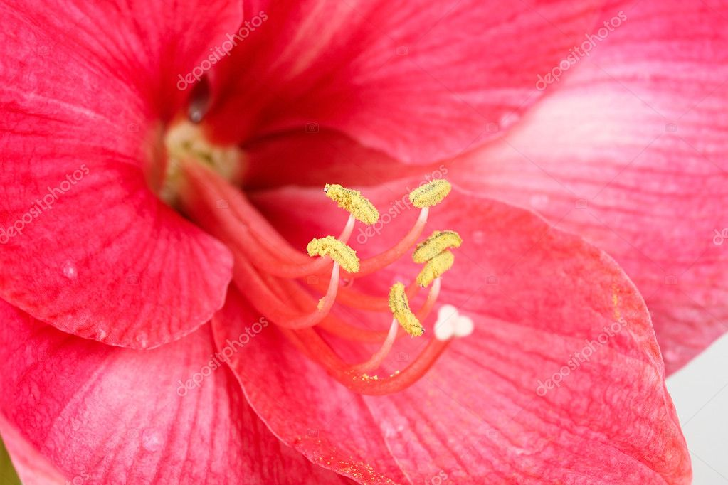 Amaryllis rouge royal photographie pashapixel 5891049 for Amaryllis royal red arrosage