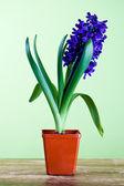 Decorative hyacinth — Stock Photo
