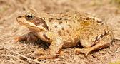 Sitting frog — Foto Stock