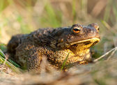 Toad sitting — Stock Photo