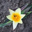 Early spring yellow tulip on flower bed — Stock Photo