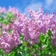 Bunch of violet lilac flower in sunny spring day — Stock Photo