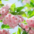 Pink abloom japanese cherry (sakura) blossom in sunny spring day - Stok fotoraf