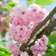 Pink abloom japanese cherry (sakura) blossom in sunny spring day - Stock Photo
