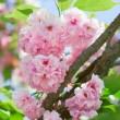 Pink abloom japanese cherry (sakura) blossom in sunny spring day — Stock Photo #5633300