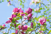 Pink abloom magnolia flower in sunny spring day — Stock Photo