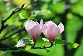 Pink abloom pair of magnolia flower with beautiful bokeh — Stock Photo