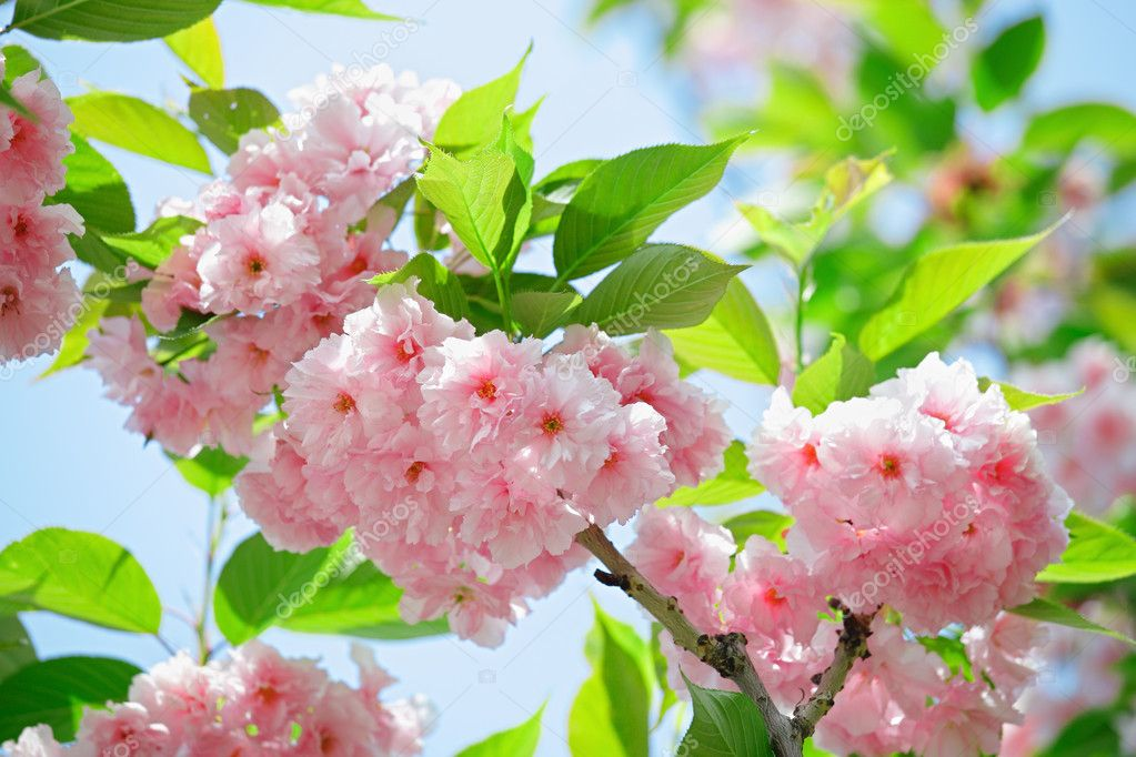 Pink abloom japanese cherry (sakura) blossom in sunny spring day with beautiful bokeh — Stock Photo #5633296