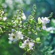 Bunch of white exochorda tianshanica flower with beautiful bokeh — Stock Photo