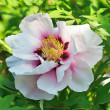 Close-up view of gently pink peony flower in sunny spring day - Stock Photo