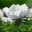 Close-up view of gently white peony flower back lighting in sunn - Stock Photo