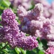 Close-up view of violet lilac flower inflorescence in sunny spri — Stock Photo