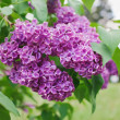 Close-up view of violet lilac flower inflorescence in sunny spri — Stock Photo #5913148