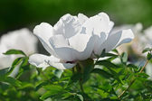Close-up view of gently white peony flower back lighting in sunn — Stock Photo