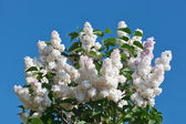 Bunch of white lilac flower in sunny spring day in front of blue — Stock Photo