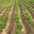 Potato sprouts on an agricultural field — Stock Photo