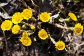 Foalfoot coltsfoot flower — Stock Photo